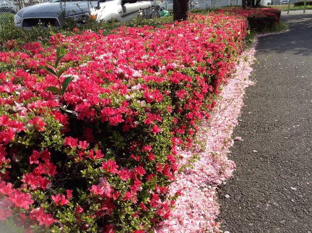 嵐吹き、桜舞散り、ツツジ咲く